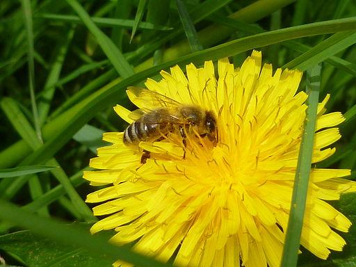 Biene_beim_Pollensammeln_auf_Löwenzahn